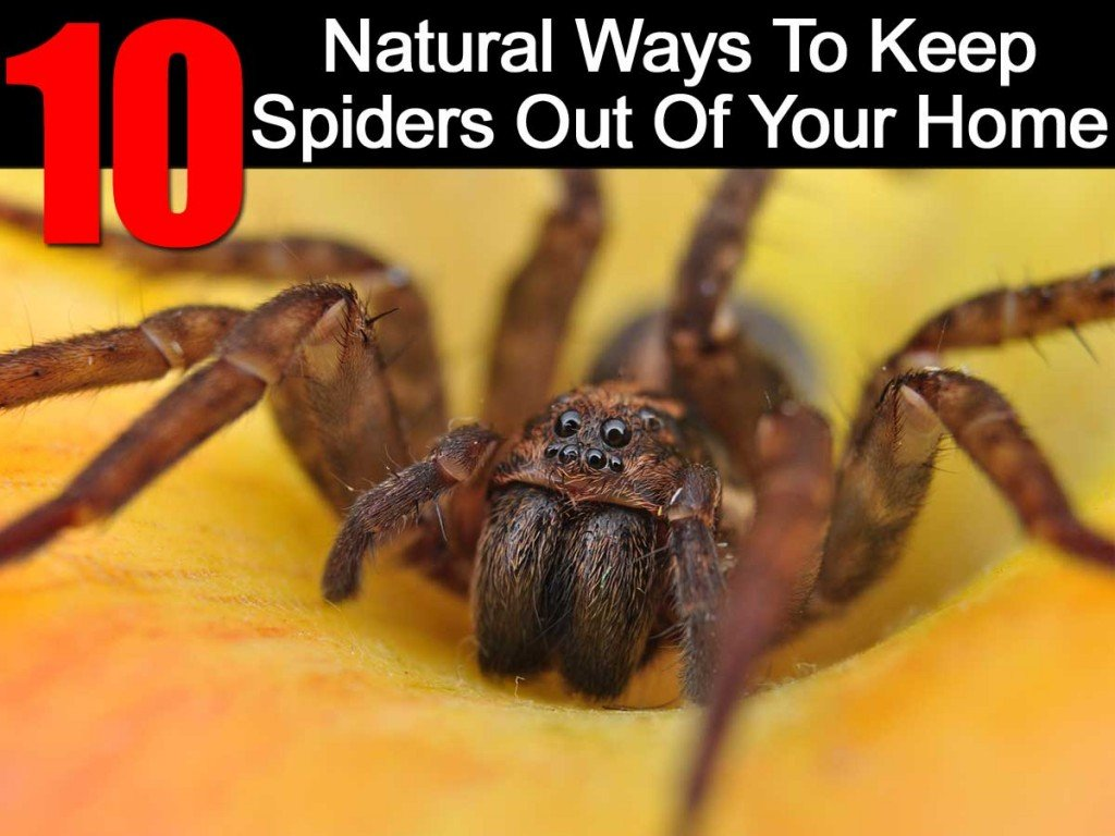 10 natural ways to keep spiders out of your home for How to keep spiders out of the house
