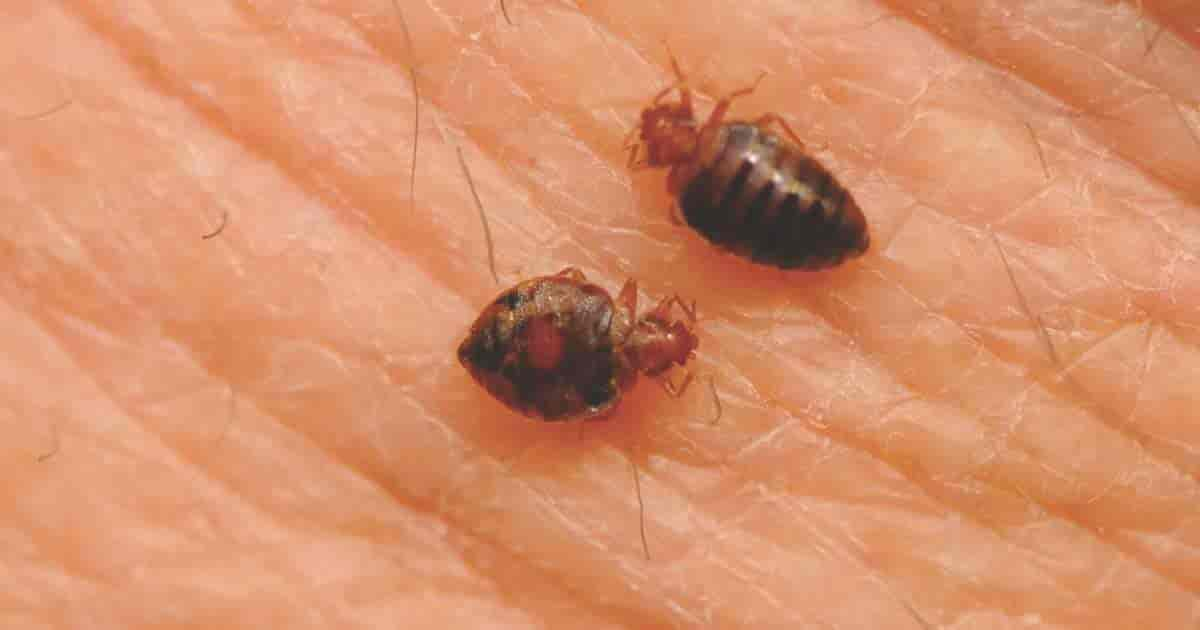 bed bugs feeding close up on skin
