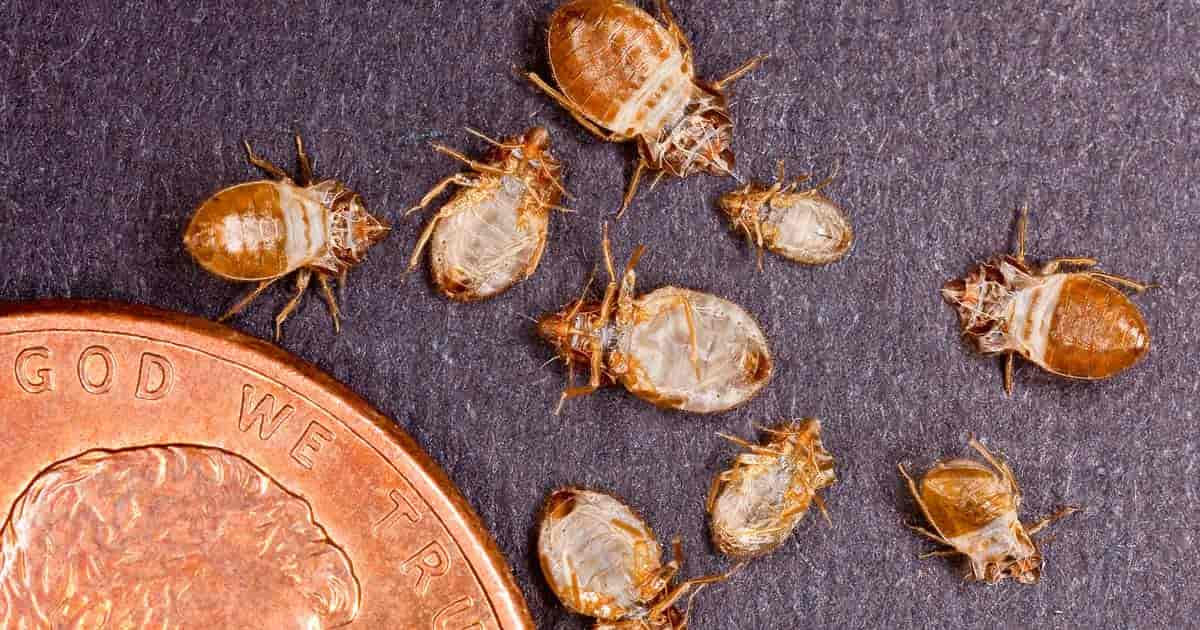 to get rid of bed bugs see how tiny these dead bed bugs are compared to a penny
