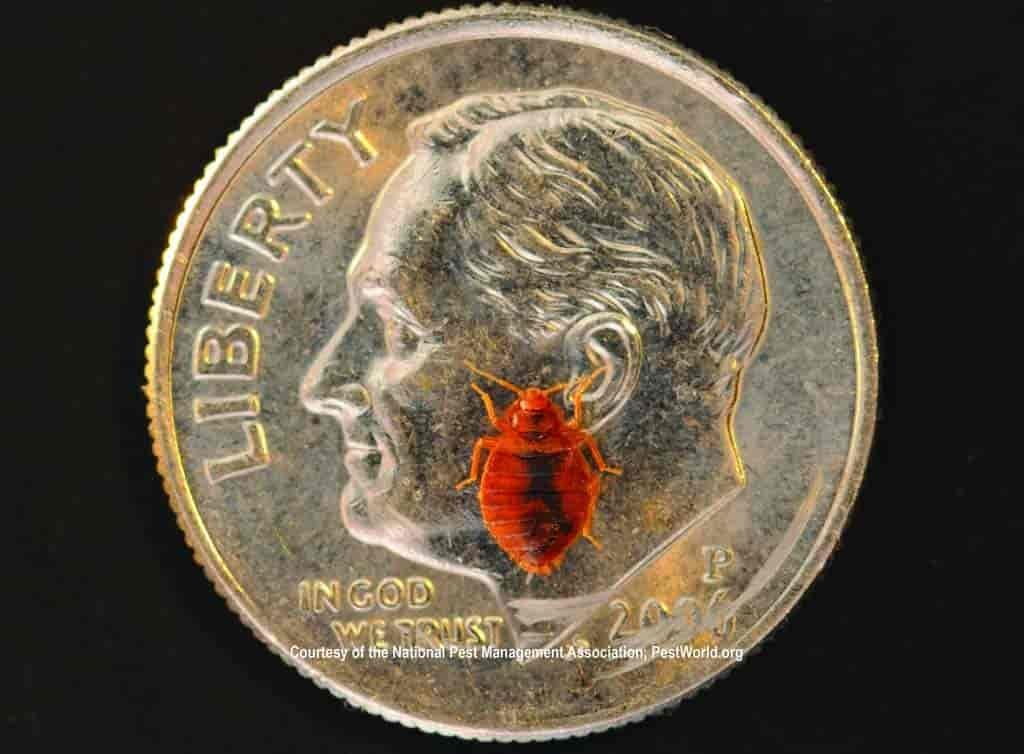 size of bed bug compared to a dime
