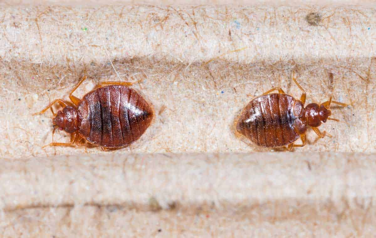 earth cockroaches study and control pest bugs of diatomaceous faqs fleas bed