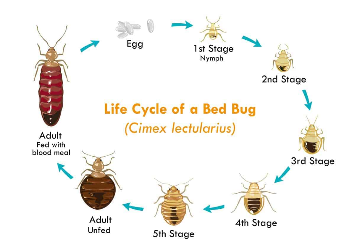 life cycle of bed bugs picture
