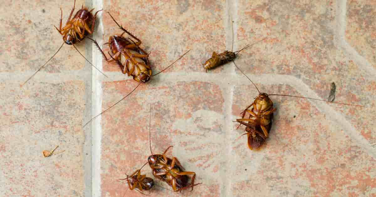 diatomaceous earth kills cockroaches and other pests