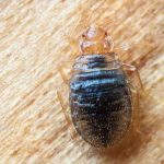 Does Peppermint Oil Bed Bug Repellent Really Work?