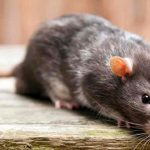How To Use Peppermint Oil For Mice Control