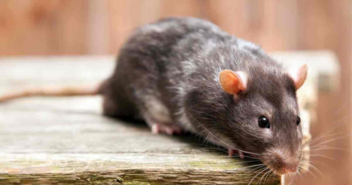 How To Use Peppermint Oil For Mice Control - ohsimply.com