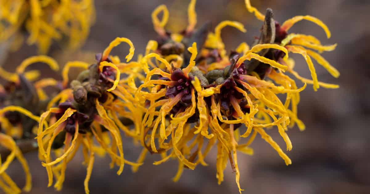 witch hazel aftershave facts