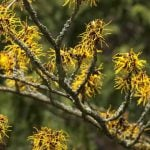 Using Witch Hazel As An Astringent: What You Need To Know
